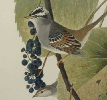John James Audubon's 'Birds of America' – Four Original Prints