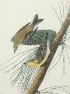 Audubon Birds of America Pine Creeping Warbler Original Print