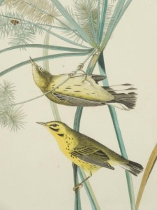 Audubon Birds of America Prarie Warbler Original Print